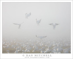 Joining the Flock (G Dan Mitchell) Tags: california county usa mist nature fog america geese ross wildlife flock north central flight merced valley join descend sanjoaquin tule mnwr
