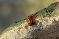 Ecdyonurus venosus nymph (Roberto PE) Tags: ephemeroptera heptageniidae ecdyonurus