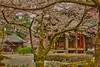 Cherry Blossoms at Kokawa dera, Wakayama-ken, Japan. (KyotoDreamTrips) Tags: 桜 sakura cherryblossoms hanami 花見 wakayamaken 和歌山県 粉河寺 kokawadera ōtomonokujiko 大伴孔子古
