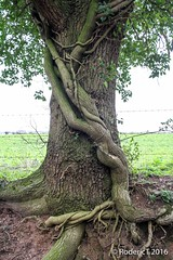 20160319-ROTL2036 Large Ivy  Roots on Oak Trunk Church Hill Inkberrow Worcestershire_-2.jpg (rodtuk) Tags: england plant nature places 7d kit worcestershire midlands churchhill phototype b23 inkberrow