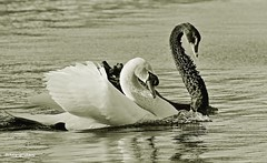 Harmony of Black and White in Nature (   (Thank you, my friends, Adam!) Tags: macro art beauty closeup lens photography orlando swan nikon downtown gallery photographer florida wildlife fine central telephoto excellent dslr curve         swan