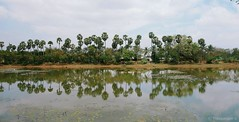 Palm tree reflections (thyaagoo) Tags: india lake reflection water sony palmtree tamilnadu southindia rx100 chengalpet nellikuppam