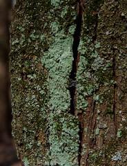 Crustose lichen (Dendroica cerulea) Tags: winter newjersey nj fungi lichen titusville mercercounty ascomycota crustoselichen washingtoncrossingstatepark lecanoromycetes candelariella candelariaceae candelariales