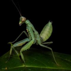 2016-04-02 Macro Mantis-6227- (The Bonding Tool) Tags: macro nature mantis insect prayingmantis mantid naturephotography macrophotography greenmantis insectphotography macroinsingapore