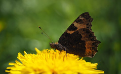 tortoiseshell butterfly (Johnson Cameraface) Tags: butterfly spring olympus tortoiseshell naturereserve april f28 em1 tortoiseshellbutterfly 2016 yorkshirewildlifetrust ywt 1240mm sprotbroughflash micro43 mzuiko johnsoncameraface omde1