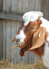Happily Munching Goat! (RiverCrouchWalker) Tags: farm straw goat essex walthamabbey leevalleypark lopearedgoat leevalleyparkfarms happilymunchinggoat