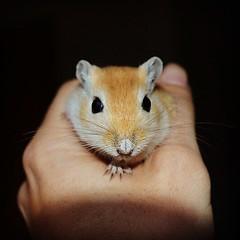 Gerbil (Jonas Lembrechts) Tags: portrait pet cute gerbil rodent rat