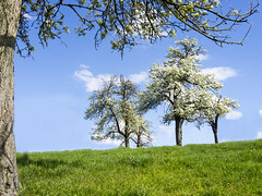 Colorful Blossoming Spring (enneafive) Tags: flowers blue color tree green spring pear haspengouw borgloon hesbania