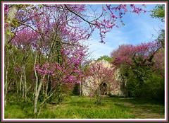 Parc de St Pons (myvalleylil1) Tags: france spring printemps redbudtrees bouchesdurhone gmenos arbresdejude