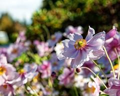 DOF Challenge (DASEye, Thank you for the 2 Million Views) Tags: pink flowers flower floral garden nikon dof blossoms challenge davidadamson flickrsawesomeblossoms awesomeblossoms daseye 52in2016 52in2016challenge