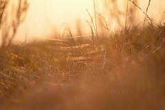Golden cobwebs... (Ireine Photography) Tags: light sunset nature grass sunshine golden spring time spiders dream cobweb webs