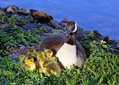 Everybody Loves Somebody Sometime (biglannie) Tags: geese goose mothergoose babygeese motherandbabies