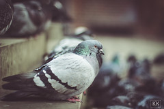 Friend or an Enemy? (KK Productions) Tags: city urban blur bird friend close bokeh pigeon or filter bir enemy edit