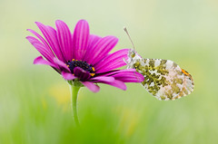 Aurora (Marcin Boch) Tags: flower colors butterfly insect spider dragonfly naturallight stackfocus nikond7000 afsdxmicronikkor85mmf35gedvr