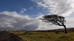 . the stormes are gone (Ruinenstaat) Tags: uk tree nature clouds landscape wind unitedkingdom wolken devon gb tre landschaft baum skyer ruinenstaat tumraneedi nikond750