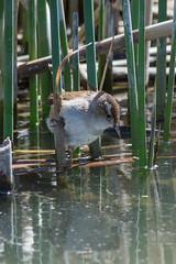 Marsh Wren (Cistothorus palustris) (byjcb) Tags: birds unitedstates nevada wren reno