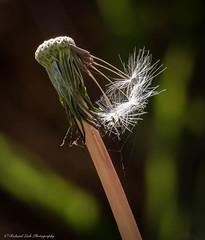 "dandelion ""Job Done"" (Richard Leah Photography) Tags: flowers plants macro nature closeup flora dandelion seeds sigma105mm"