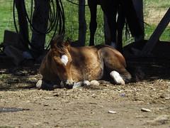 PEQUEO POTRILLO, SERS EL MEJOR COMPAERO DE HOMBRE (JorgeSolar10) Tags: caballo campo hourse