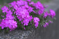 Wildflower (shin4433) Tags: wildflower