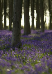 Itchen for Bluebells (Howard Brown) Tags: flowers trees bluebells woodland woods hampshire f2 micheldever itchenwood