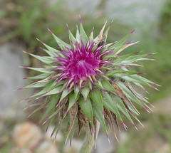 Thistle do nicely..... (robbie20161) Tags: flower nature countryside outdoor croatia wildflower malison