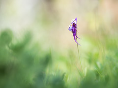 Linaria amethystea (too15) Tags: flowers flores macro primavera bokeh olympus galicia omd ourense linaria silvestres em5 amethystea mzuiko60macro