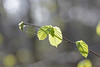Spring Leaves! (RiverCrouchWalker) Tags: light leaves march leaf spring bokeh twig veins essex downham 2016 spidersilk hanningfieldreservoir essexwildlifetrust hanningfieldwoods hanningfieldreservoirnaturereserve
