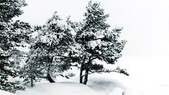 Snowy pines on the shore of Lilla Trsk island (Inkoo outer achipelago, 20160124) (RainoL) Tags: winter sea snow tree ice pine finland geotagged island wind january balticsea fin snowfall pinussylvestris pinus 2016 uusimaa nyland inkoo ing 201601 kopparns inkooarchipelago fz200 20160124 geo:lat=6002635897 geo:lon=2428548753 lillatrsk