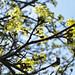 Norway maple flowers