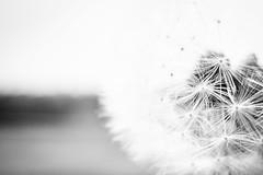 Einladung zum Pusten (ChristinaWieck) Tags: blackwhite olympus sw frucht lwenzahn pusteblume fallschirm