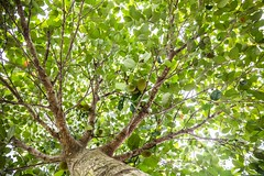 Jackfruit Tree With Lots of Jackfruit Interesting 2016_04_16 (photocat001) Tags: interesting jackfruit jackfruittree