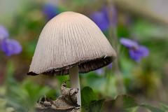 Gold-Mistpilz-Gold -Dung mushroom (Jutta M. Jenning) Tags: mushroom fungus funghi pilze pilz lamellen funghis gewaechs gewaechse pilzhut staenderpilz mistpilz pilzhuete goldpilz goldpilze mistpilze