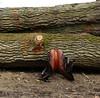 2016 Horses Hunting (Steenvoorde Leen - 2.7 ml views) Tags: maarsbergen doorn utrechtseheuvelrug 2016 landgoed netherlands pferde paarden springen huntertrails hunt jachtpaard jachtvereniging cross horse horses hindernis fench jumping reiten jägerwanderwege cheval