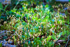 I Bow Down (oliemackeral) Tags: flowers green nature forest moss spring sticks floor tiny stalks
