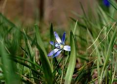 Sternhyazinthe (Chionodoxa luciliae) (dl1ydn) Tags: hyazinthe