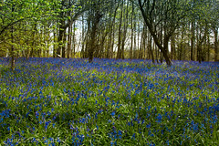 Carpet of blue (judethedude73) Tags: flowers blue trees nature arlington bells sussex spring woods colours
