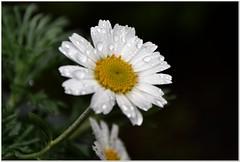 Rain (MaxUndFriedel) Tags: flower rain garden drops spring daisy april leucanthemum