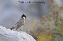 #دبي #الإمارات #حديقة_الخور #حديقة_خور_دبي #خور_دبي #بلبل #طائر #طيور #تصوير #تصويري #فوتوغرافي #UAE #dubai #dubai_creek #dubai_creek_park #dubaicreekpark #nightingale #songbird #photography #myphoto #bird #birds #gardens (alrayes1977) Tags: bird birds gardens photography dubai uae dubaicreek myphoto songbird الإمارات nightingale دبي تصوير تصويري طيور حديقةالخور طائر بلبل فوتوغرافي dubaicreekpark خوردبي حديقةخوردبي