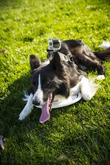 grrr (maqzet) Tags: dog ball collie border perro frisbee fetch pelota gopro