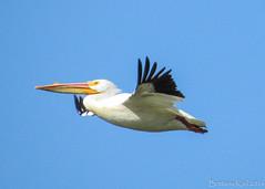 American White Pelican Flying Away. (lily_britches) Tags: birds pelican waterfowl lakemonroe birdinflight americanwhitepelican pelicaninflight indianabirds stillwatermarsh birdsofindiana