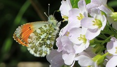 Orange Tip 240416 (12) (Richard Collier - Wildlife and Travel Photography) Tags: wildlife butterflies insects naturalhistory british orangetip britishinsect
