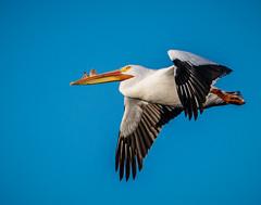 American White Pelican (shooter1229) Tags: bird nature animal outdoors wetlands americanwhitepelican heronpark