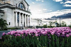 Untitled (Eric B | RIP Prince) Tags: pink flowers blue sky green nature architecture clouds spring purple tulips perspective stlouis artmuseum forestpark purplerain blooming stlouisartmuseum zeiss35mmf28 sonya7rii