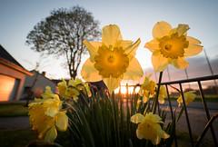 Sunset in Spring (MiGrü) Tags: flowers sunset germany spring sonnenuntergang blumen olympus northern nahaufnahme frühling osterglocken norddeutschland niedersachsen ohz ohlenstedt omdem5markii mzuiko714mmf28pro