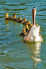 0413 IMG_4964 (JRmanNn) Tags: geese paradise lasvegas ducklings goslings canadiangeese sunsetpark