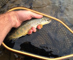 Brown (kdlinab) Tags: brown stcroix trout caddis dryfly 23weightrod