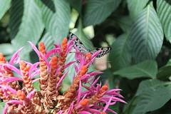 IMG_2445 (Mercar) Tags: canada butterfly garden botanical montreal go butterflies jardin free greenhouse botanic botaanikaaed qubeck