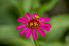 Little Pink Zinnia (sostenesmonteiro) Tags: pink flowers plants flores flower planta nature nikon little natureza flor zinnia zinia 55300 d5200 sostenesmonteiro totecmt