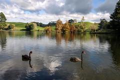 Black Swans (Kiwi-Steve) Tags: autumn newzealand bird fall nature reflections landscape nikon nz northisland blackswan tauranga bayofplenty nikond90 mclarenfallspark
