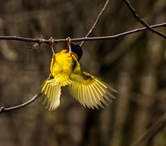 Village Weaver (mlomax1) Tags: bird animal canon zoo cheshire wildlife chester weaver chesterzoo villageweaver eos600d